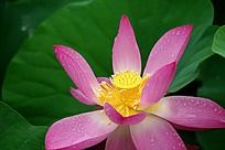 娇艳欲滴的粉红色荷花