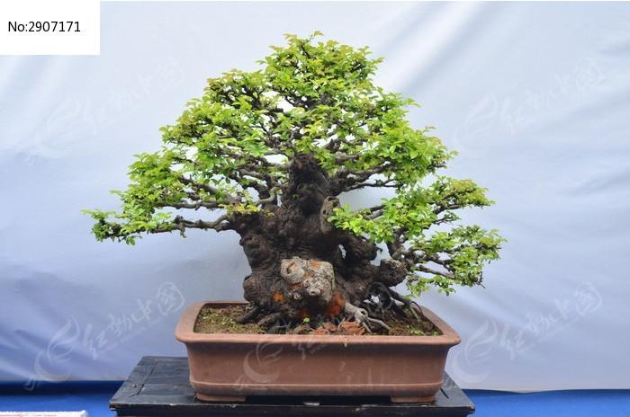 盆栽榕树 植物 绿植 景观植物