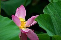 盛开的粉红色荷花