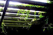 栅顶植物绿叶
