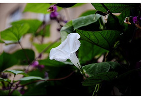 白色喇叭花和绿叶