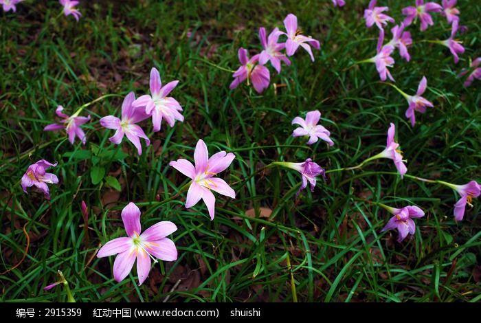 草地上开满了葱兰花