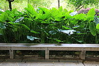 黑山植物园假芋头从的休息座椅