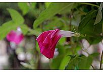 枯萎的红紫色喇叭花