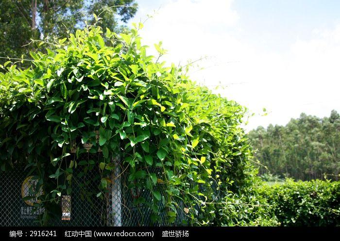 爬藤绿叶植物