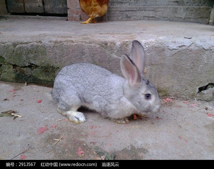 兔子 灰色的兔子 可爱的小动物