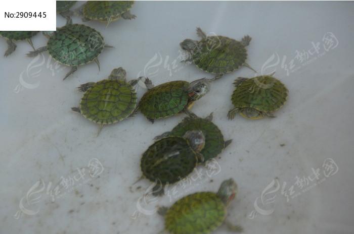 原创摄影图 动物植物 水中动物 小乌龟