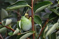 一个挂在枝头的青柿子