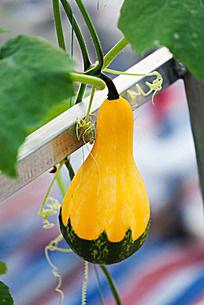 挂在藤上葫芦形小南瓜