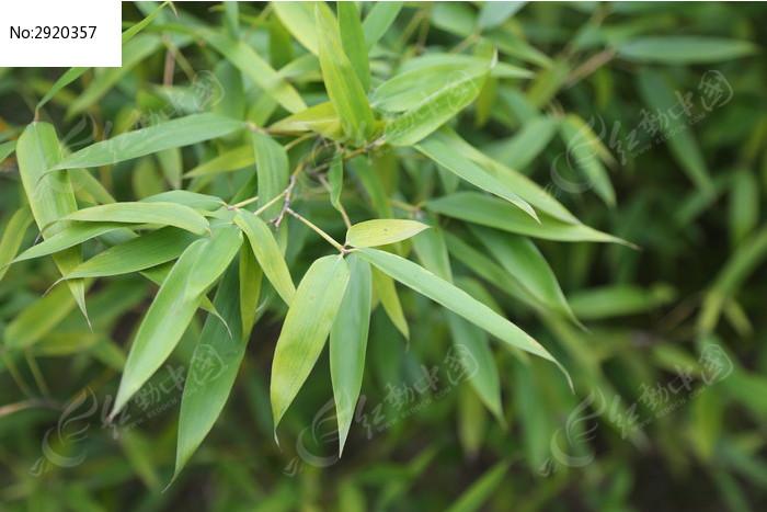 原创摄影图 动物植物 树木枝叶 竹叶图片素材