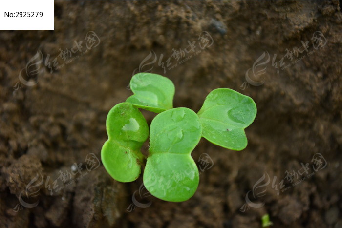 发芽的小白菜图片  露珠