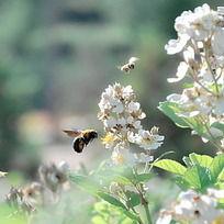 两只蜜蜂和白色的花
