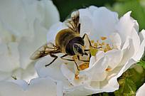 蜜蜂与白花