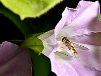 牵牛花和蜜蜂