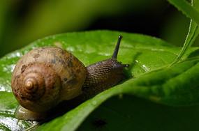 树叶上的蜗牛
