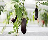 大棚种植的紫色茄子