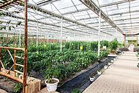 大棚种植蔬菜