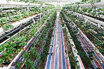 高科技大棚蔬菜的种植