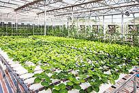 高科技种植蔬菜大棚一隅