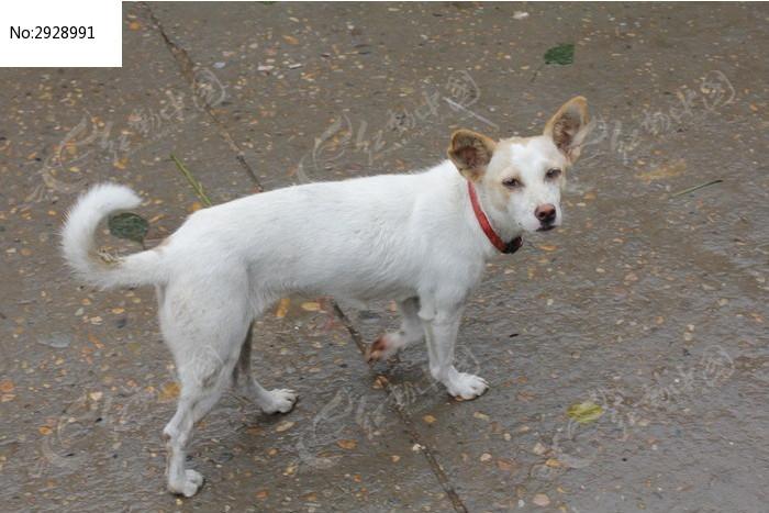 可爱的白色小狗图片素材下载(编号:2928991)