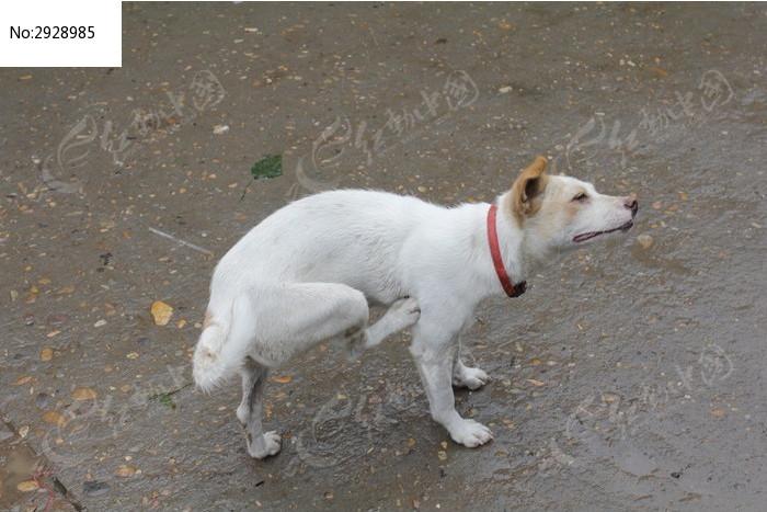 挠痒的白色小狗图片