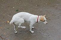 抬腿的白色小狗