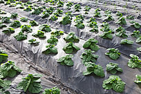 一畦畦的大棚蔬菜