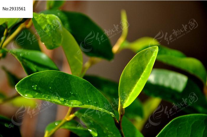 带着水滴的灵茶花叶子图片