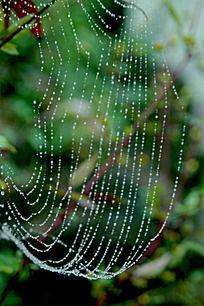 绿色植物结蜘蛛网图片