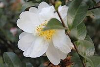 植物园的山茶花