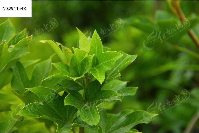 原创摄影图 动物植物 树木枝叶 八角银边花的叶子  请您分享: 红动网