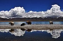 湖边饮水的牦牛