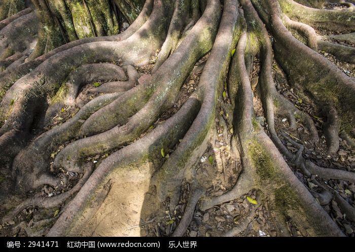 盘根错节的老树根