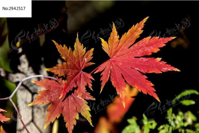 您当前访问图片主题是三片红叶,编号是2942517, 文件格式是jpg,拍摄图片