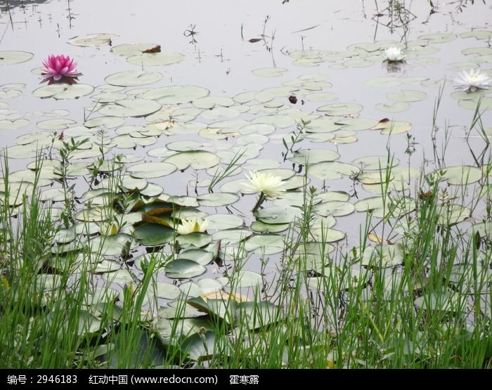 原创摄影图 动物植物 花卉花草 荷花塘