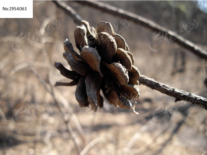 原创摄影图 动物植物 树木枝叶 松树果实松塔  请您分享: 红动网提供