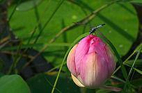荷花上的蜻蜓