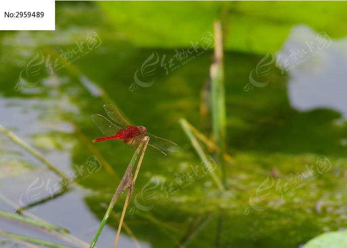 荷塘边的红蜻蜓