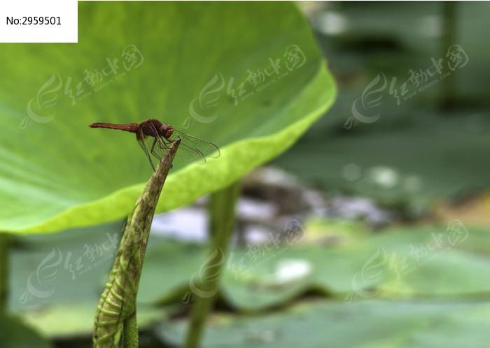 荷叶上的蜻蜓图片
