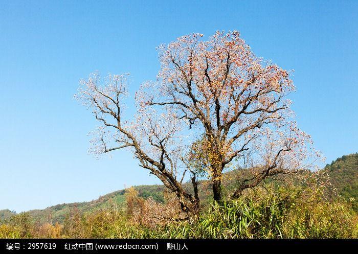 蓝天下乌桕树的白色果实与红叶相间