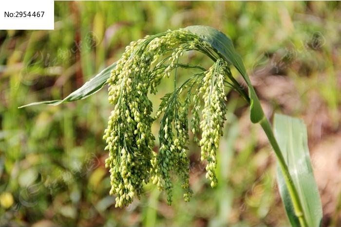 原创摄影图 动物植物 农作物 糜子特写  请您分享: 素材描述:红动网