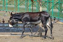 天津七里海湿地公园饲养的毛驴