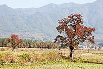 田野中一棵紫红叶乌桕树