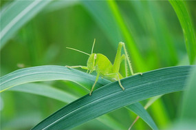 万叶丛中一点绿--绿色蚂蚱特写