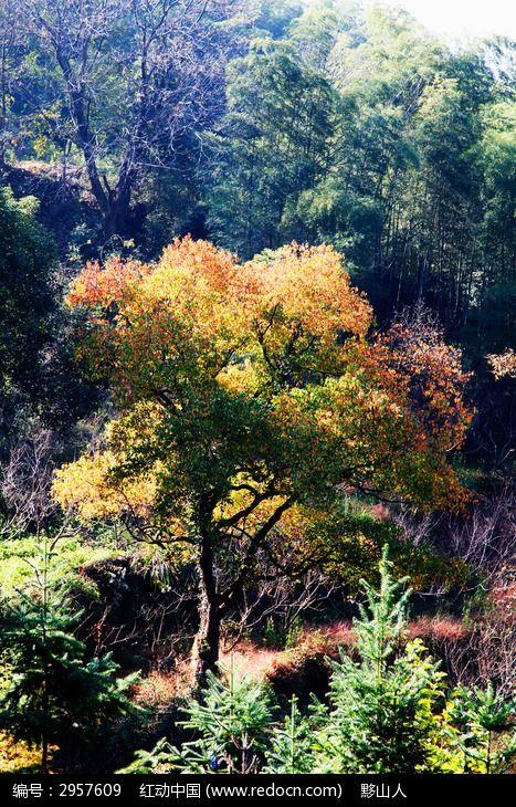 乌桕树树叶开始变红了图片,高清大图_树木枝叶素材