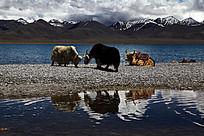 西藏高原纳木措湖边的牦牛