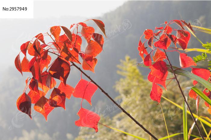 摇曳的乌桕红叶图片,高清大图_树木枝叶素材