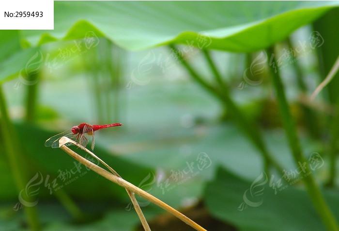 一只红蜻蜓