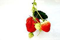 白色背景的草莓图