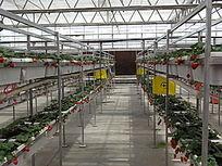 草莓培养基地
